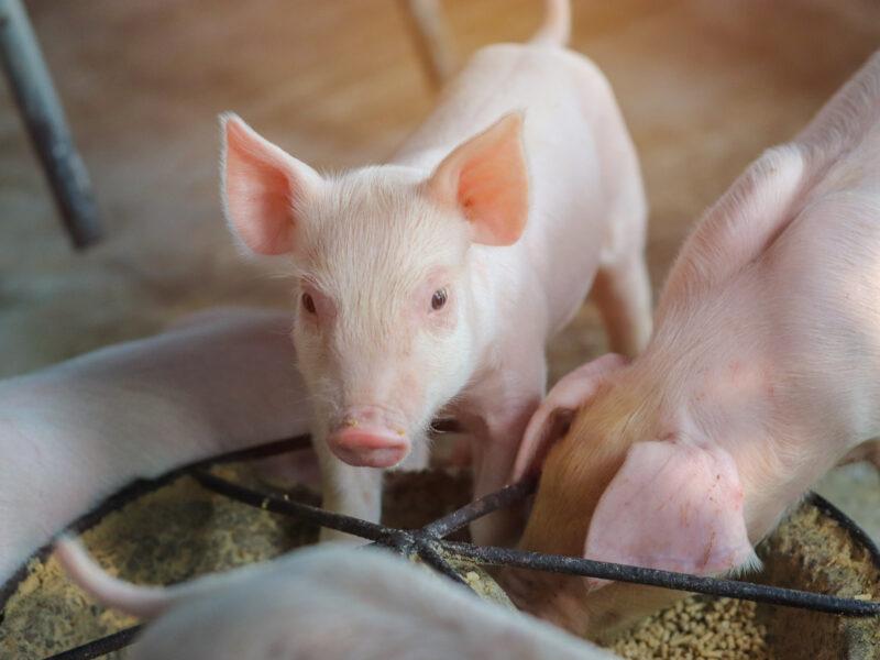 Karmniki dla świń: wskazówki dotyczące zakupu